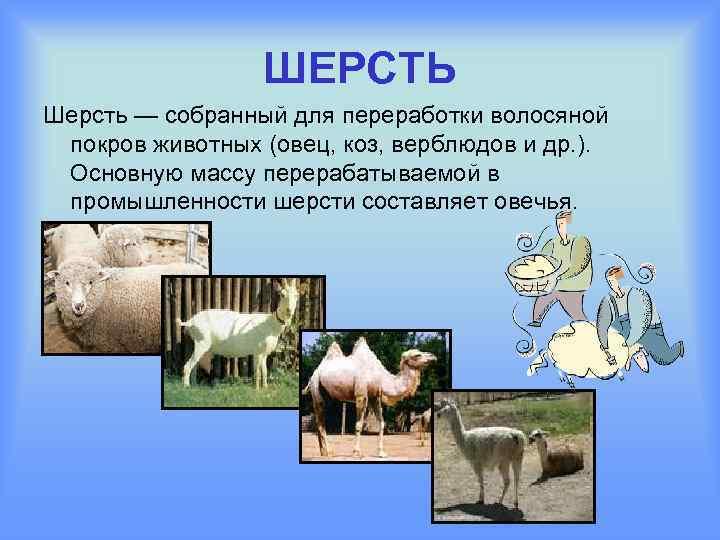ШЕРСТЬ Шерсть — собранный для переработки волосяной покров животных (овец, коз, верблюдов и др.