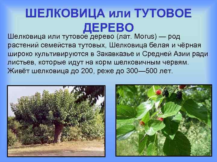 ШЕЛКОВИЦА или ТУТОВОЕ ДЕРЕВО Шелковица или тутовое дерево (лат. Morus) — род растений семейства