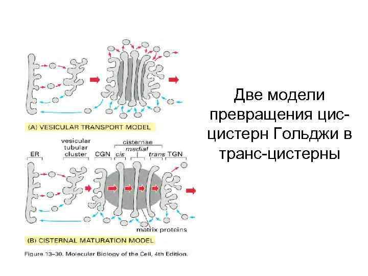 Две модели превращения цисцистерн Гольджи в транс-цистерны