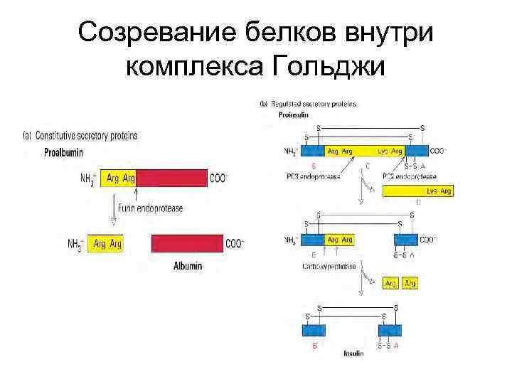 Созревание белков внутри комплекса Гольджи