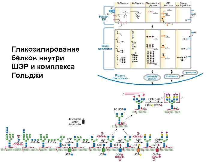 Гликозилирование белков внутри ШЭР и комплекса Гольджи