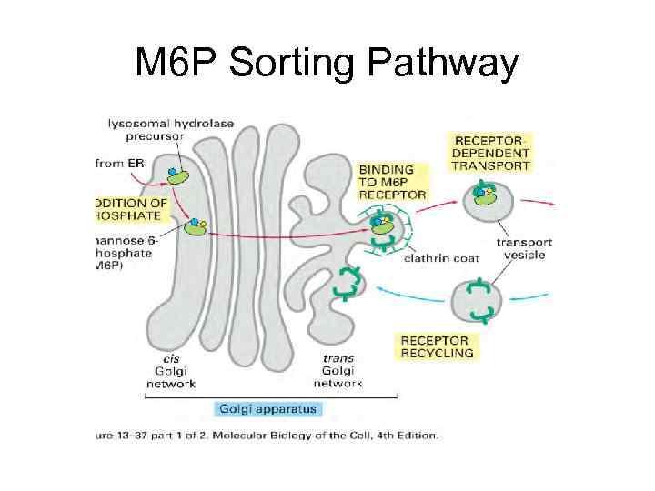 M 6 P Sorting Pathway