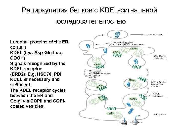 Рециркуляция белков с KDEL-сигнальной последовательностью Lumenal proteins of the ER contain KDEL (Lys-Asp-Glu-Leu. COOH)