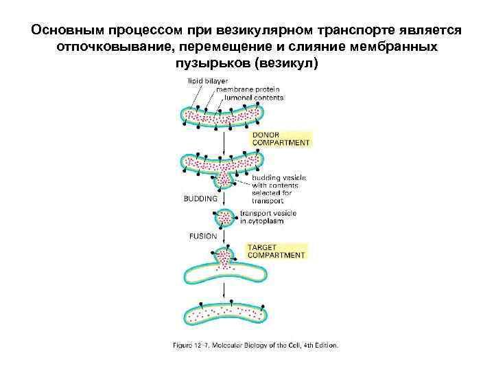 Основным процессом при везикулярном транспорте является отпочковывание, перемещение и слияние мембранных пузырьков (везикул)