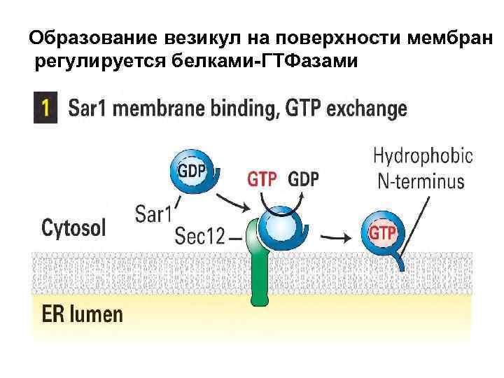 Образование везикул на поверхности мембран регулируется белками-ГТФазами