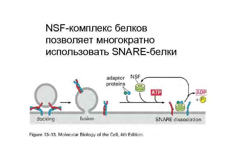 NSF-комплекс белков позволяет многократно использовать SNARE-белки
