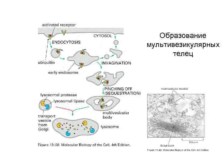 Образование мультивезикулярных телец