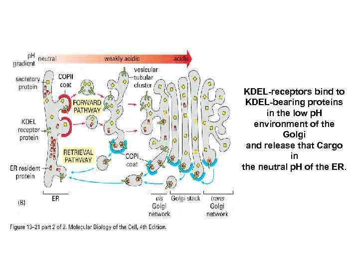 KDEL-receptors bind to KDEL-bearing proteins in the low p. H environment of the Golgi