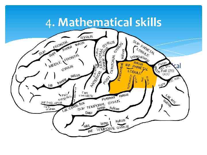 4. Mathematical skills The inferior-parietal lobule, which controls numerical brain function, is larger in