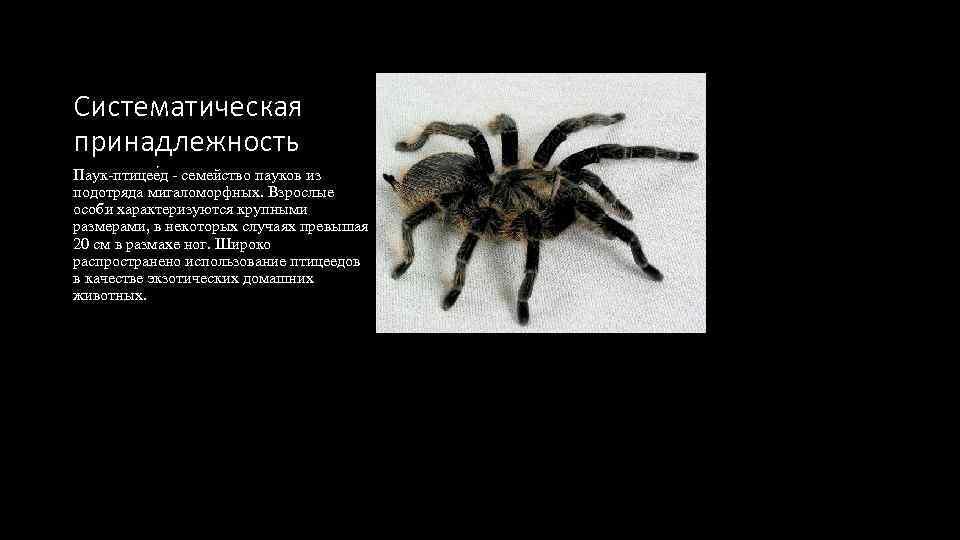 Систематическая принадлежность Паук-птицее д - семейство пауков из подотряда мигаломорфных. Взрослые особи характеризуются крупными