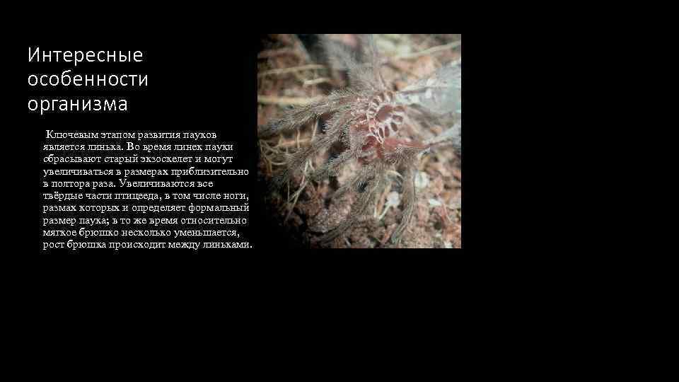 Интересные особенности организма Ключевым этапом развития пауков является линька. Во время линек пауки сбрасывают