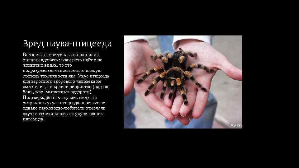 Вред паука-птицееда Все виды птицеедов в той или иной степени ядовиты; если речь идёт
