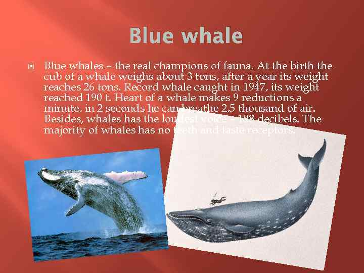 Blue whale Blue whales – the real champions of fauna. At the birth the