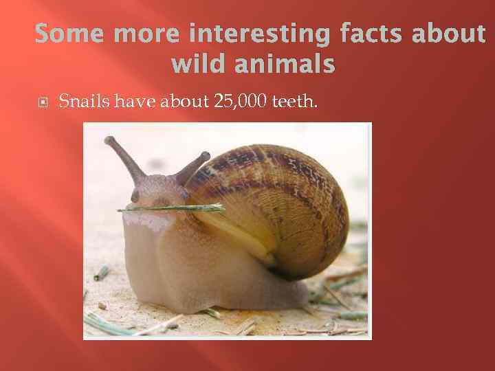 Some more interesting facts about wild animals Snails have about 25, 000 teeth.
