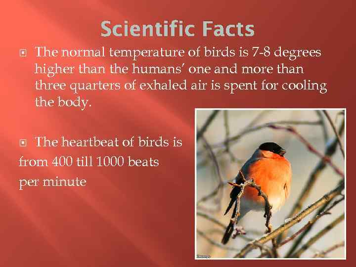 Scientific Facts The normal temperature of birds is 7 -8 degrees higher than the