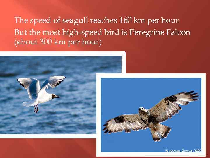 The speed of seagull reaches 160 km per hour But the most high-speed bird