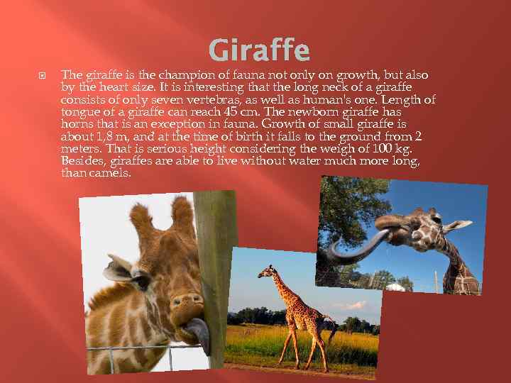 Giraffe The giraffe is the champion of fauna not only on growth, but also