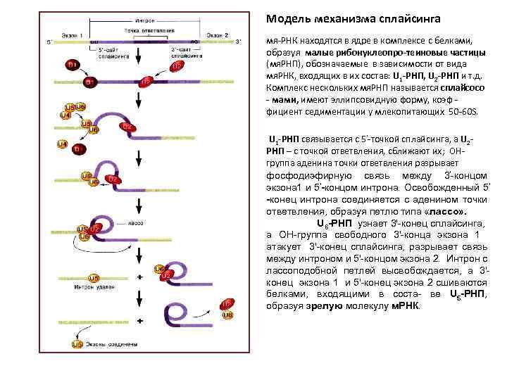 Модель механизма сплайсинга мя-РНК находятся в ядре в комплексе с белками, образуя малые рибонуклеопро-теиновые
