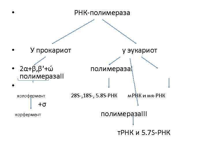 РНК-полимераза • • У прокариот • 2α+β, β'+ώ полимераза. II • холофермент +σ корфермент