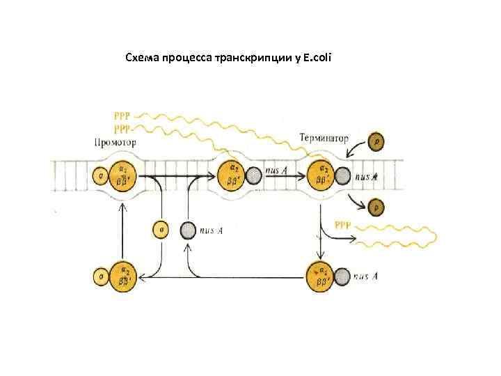 Схема процесса транскрипции у Е. соli