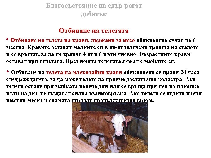 Благосъстояние на едър рогат добитък Отбиване на телетата • Отбиване на телета на крави,