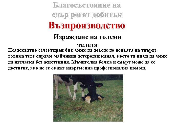 Благосъстояние на едър рогат добитък Възпроизводство Израждане на големи телета Неадекватно селектиран бик може