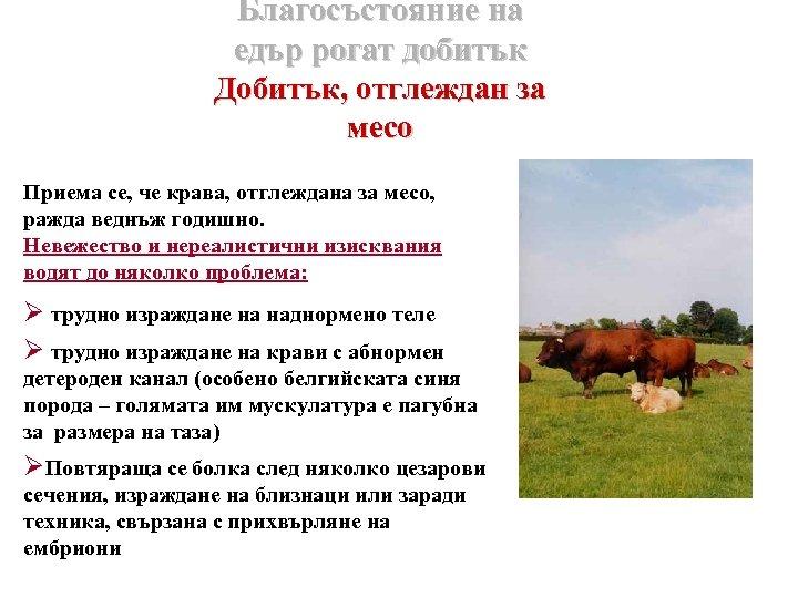 Благосъстояние на едър рогат добитък Добитък, отглеждан за месо Приема се, че крава, отглеждана
