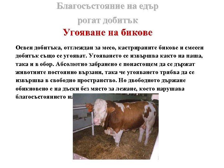 Благосъстояние на едър рогат добитък Угояване на бикове Освен добитъка, отглеждан за месо, кастрираните