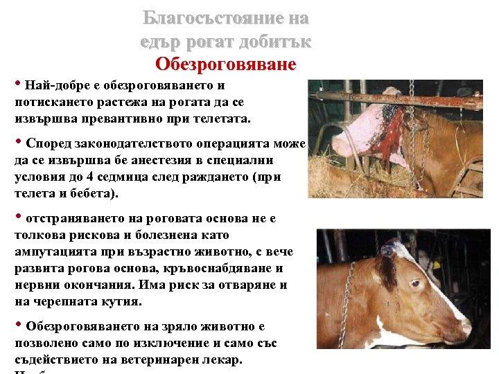 Благосъстояние на едър рогат добитък Обезроговяване • Най-добре е обезроговяването и потискането растежа на