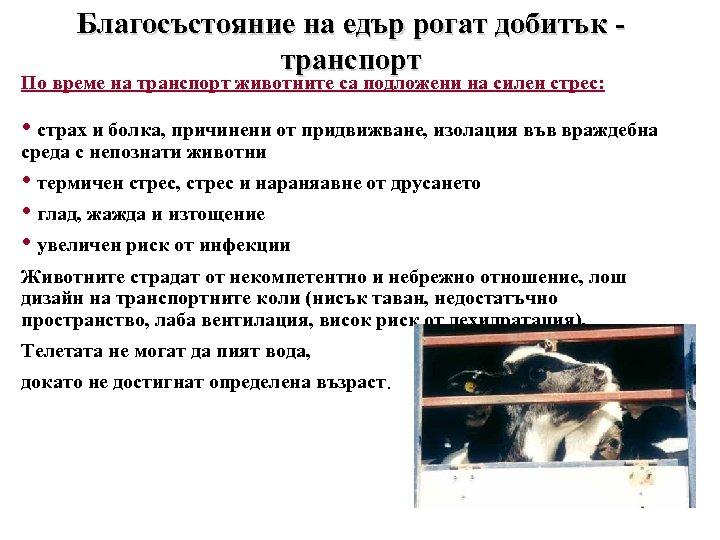 Благосъстояние на едър рогат добитък транспорт По време на транспорт животните са подложени на