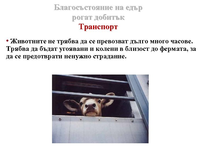 Благосъстояние на едър рогат добитък Транспорт • Животните не трябва да се превозват дълго