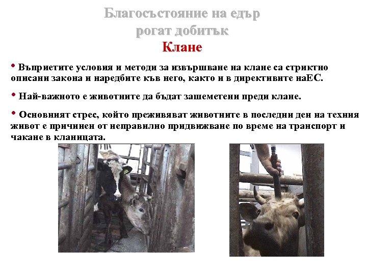 Благосъстояние на едър рогат добитък Клане • Въприетите условия и методи за извършване на