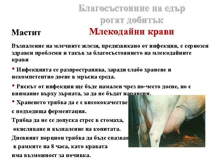 Мастит Благосъстояние на едър рогат добитък Млекодайни крави Възпаление на млечните жлези, предизвикано от