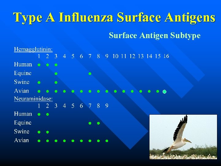 Type A Influenza Surface Antigens Surface Antigen Subtype 16