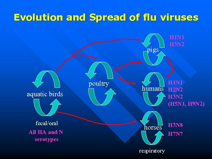 Evolution and Spread of flu viruses pigs poultry aquatic birds fecal/oral All HA and