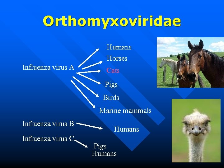 Orthomyxoviridae Humans Horses Influenza virus A Cats Pigs Birds Marine mammals Influenza virus B