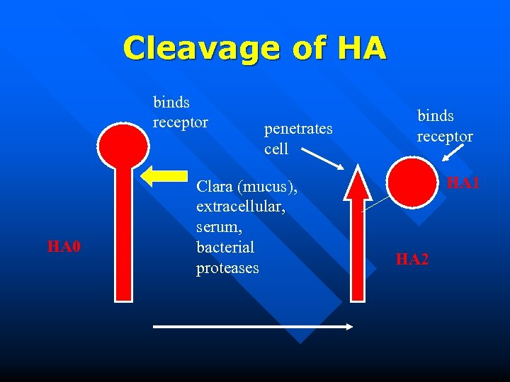 Cleavage of HA binds receptor HA 0 penetrates cell Clara (mucus), extracellular, serum, bacterial