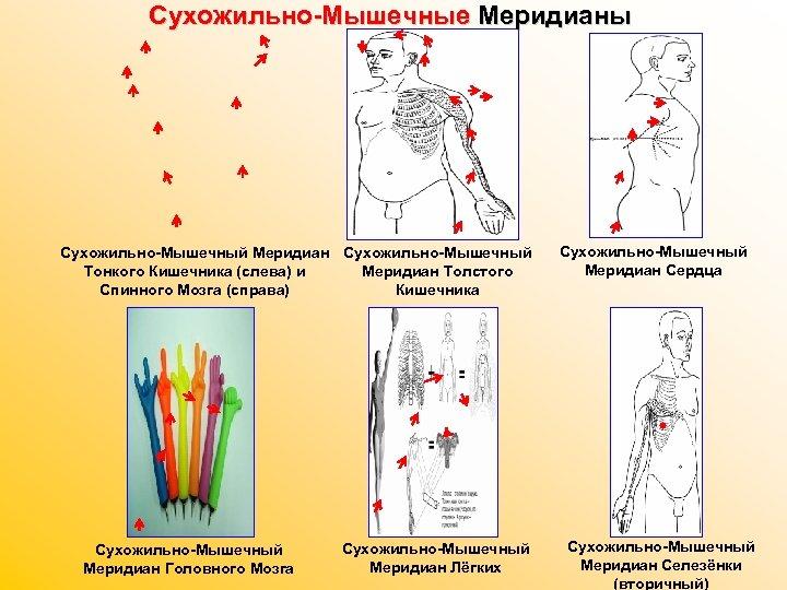 Сухожильно-Мышечные Меридианы Сухожильно-Мышечный Меридиан Сухожильно-Мышечный Тонкого Кишечника (слева) и Меридиан Толстого Спинного Мозга (справа)