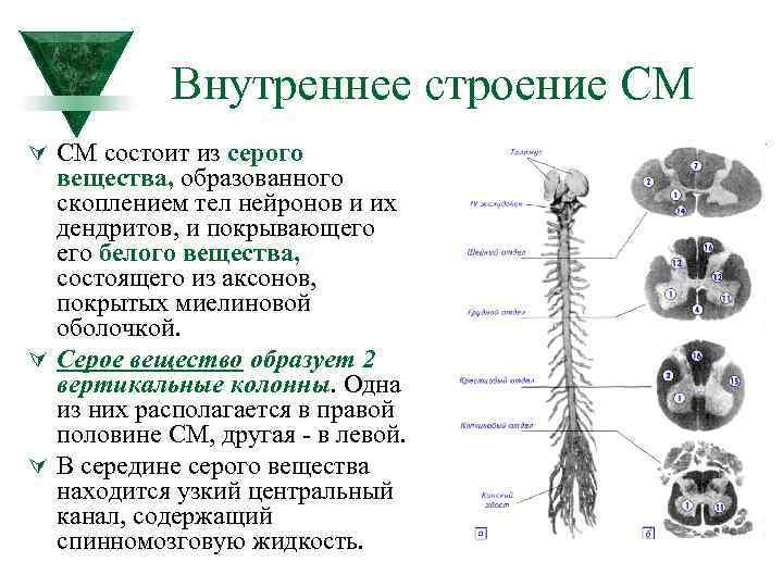 Внутреннее строение СМ Ú СМ состоит из серого вещества, образованного скоплением тел нейронов и