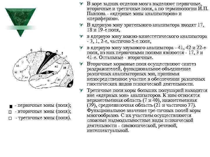 Ú В коре задних отделов мозга выделяют первичные, Ú Ú Ú первичные зоны (поля);