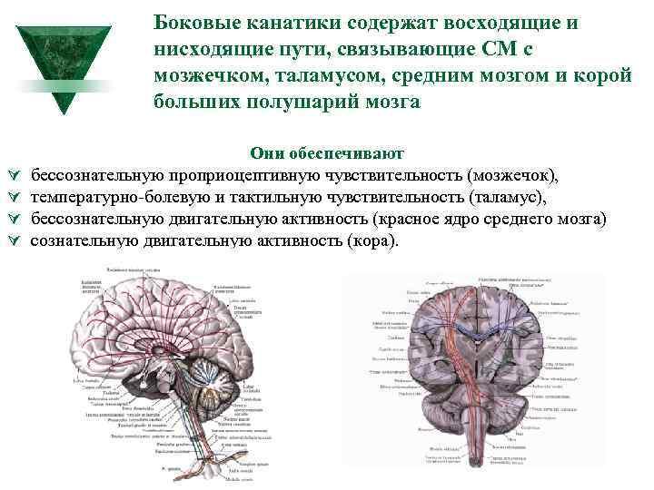 Боковые канатики содержат восходящие и нисходящие пути, связывающие СМ с мозжечком, таламусом, средним мозгом