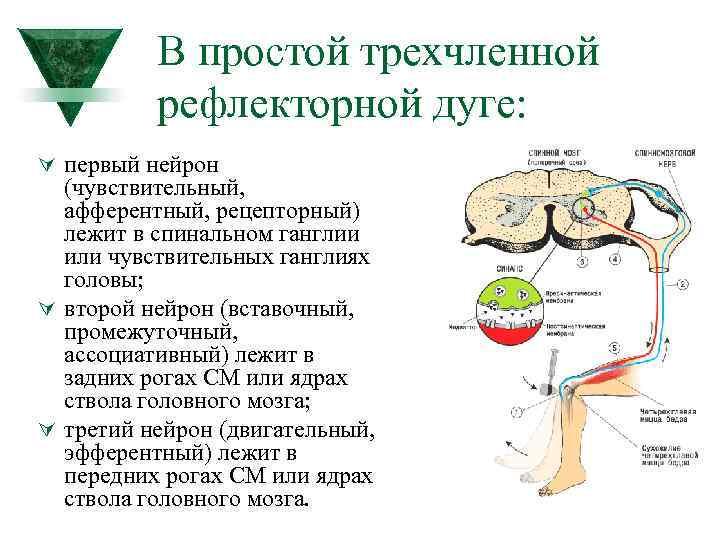 В простой трехчленной рефлекторной дуге: Ú первый нейрон (чувствительный, афферентный, рецепторный) лежит в спинальном