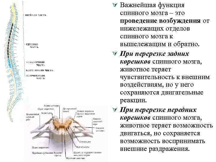 Ú Важнейшая функция спинного мозга – это проведение возбуждения от нижележащих отделов спинного мозга