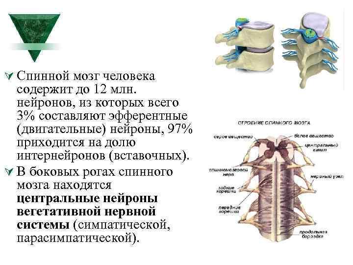 Ú Спинной мозг человека содержит до 12 млн. нейронов, из которых всего 3% составляют