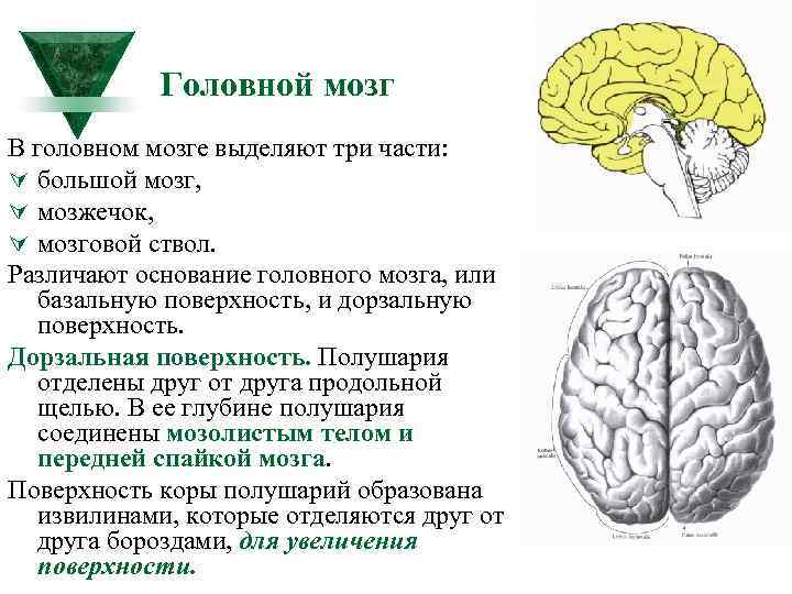 Головной мозг В головном мозге выделяют три части: Ú большой мозг, Ú мозжечок, Ú
