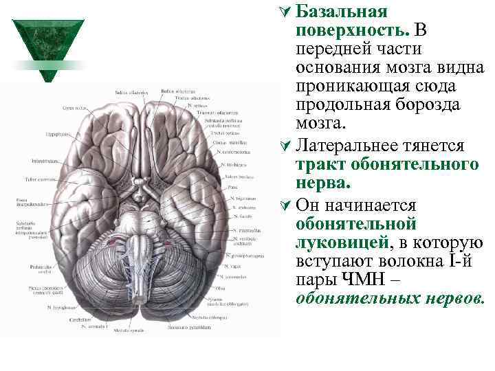 Ú Базальная поверхность. В передней части основания мозга видна проникающая сюда продольная борозда мозга.