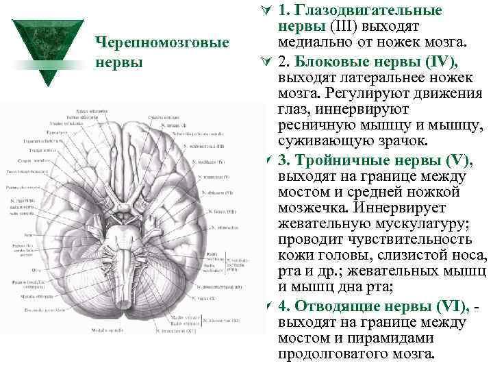 Ú 1. Глазодвигательные Черепномозговые нервы (III) выходят медиально от ножек мозга. Ú 2. Блоковые