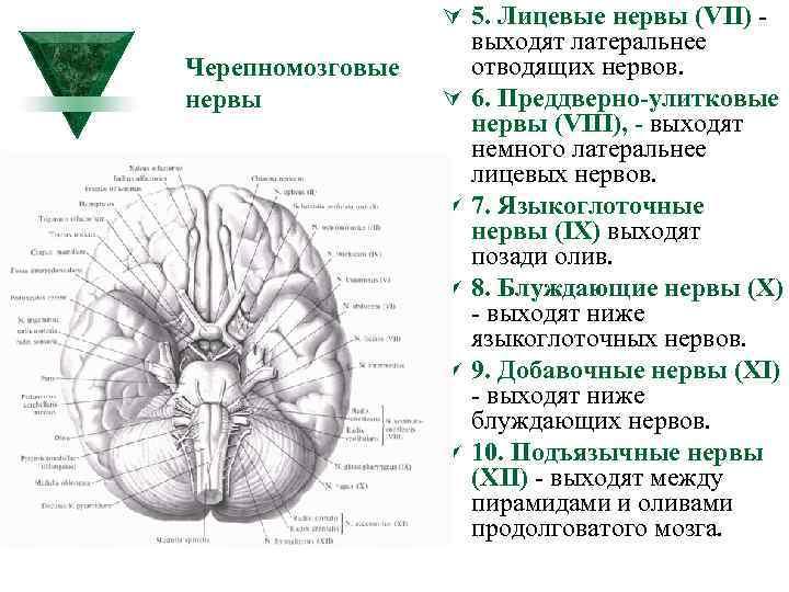 Ú 5. Лицевые нервы (VII) Черепномозговые нервы Ú Ú Ú выходят латеральнее отводящих нервов.