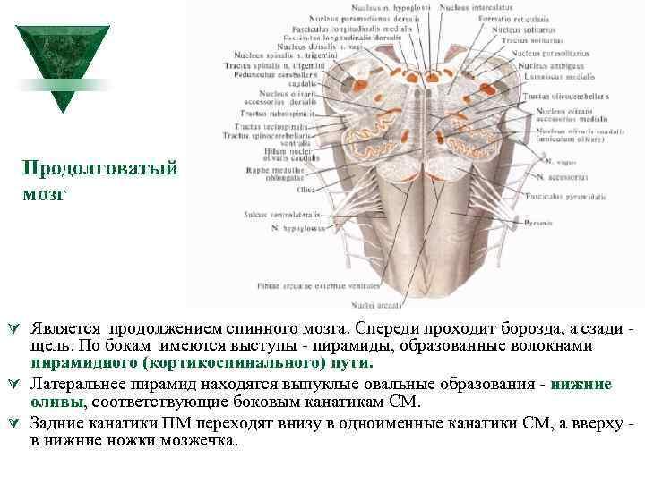 Продолговатый мозг Ú Является продолжением спинного мозга. Спереди проходит борозда, а сзади щель. По