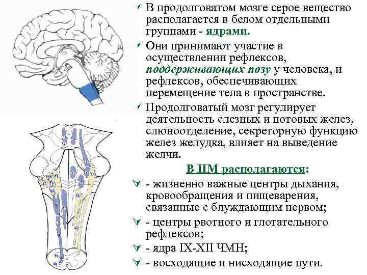 Ú В продолговатом мозге серое вещество Ú Ú Ú располагается в белом отдельными группами